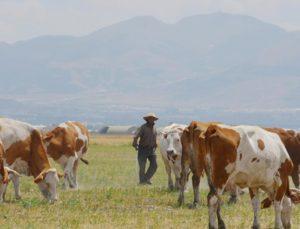 7 bin lira maaşla çalışacak yerli çoban bulamıyorlar